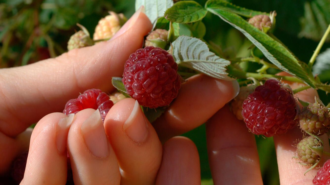 Detail of a woman's hands picking raspberries from a bush (Photo by: Digital Light Source/Universal Images Group via Getty Images)
